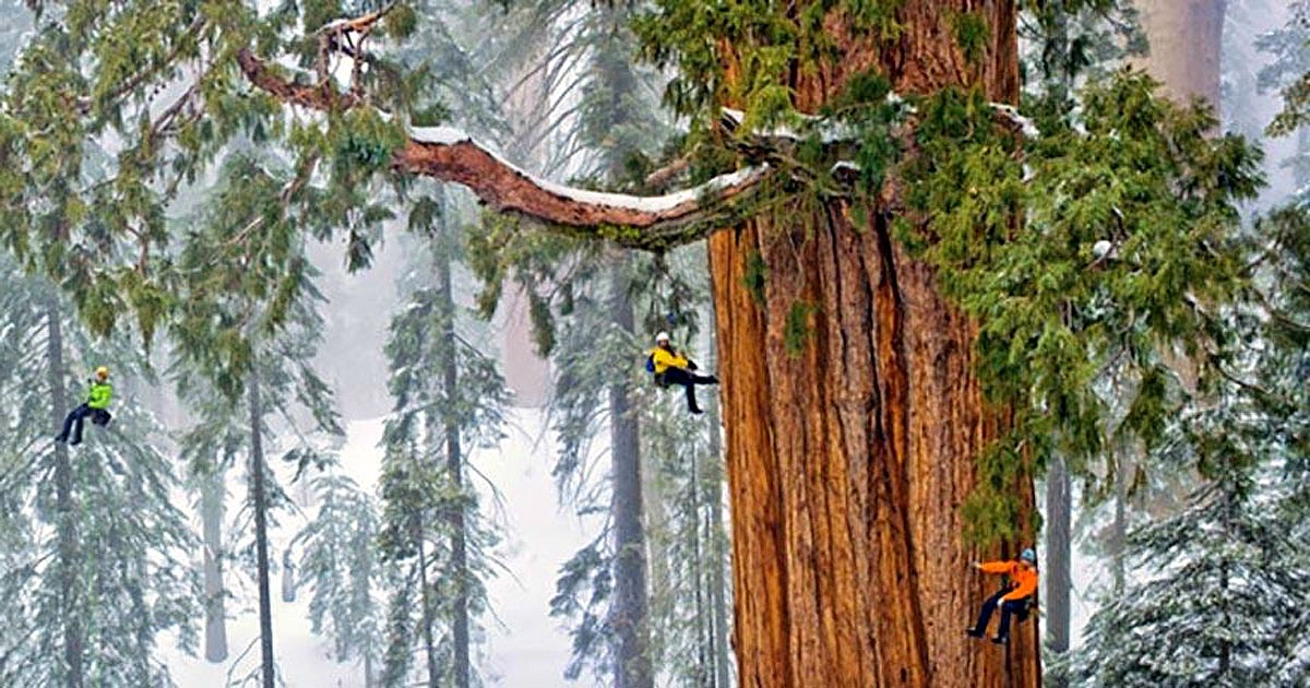 This 3,200 year old tree is so huge it took 126 photos to show it all