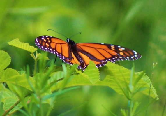 How to Support the Return of the Monarch Butterfly