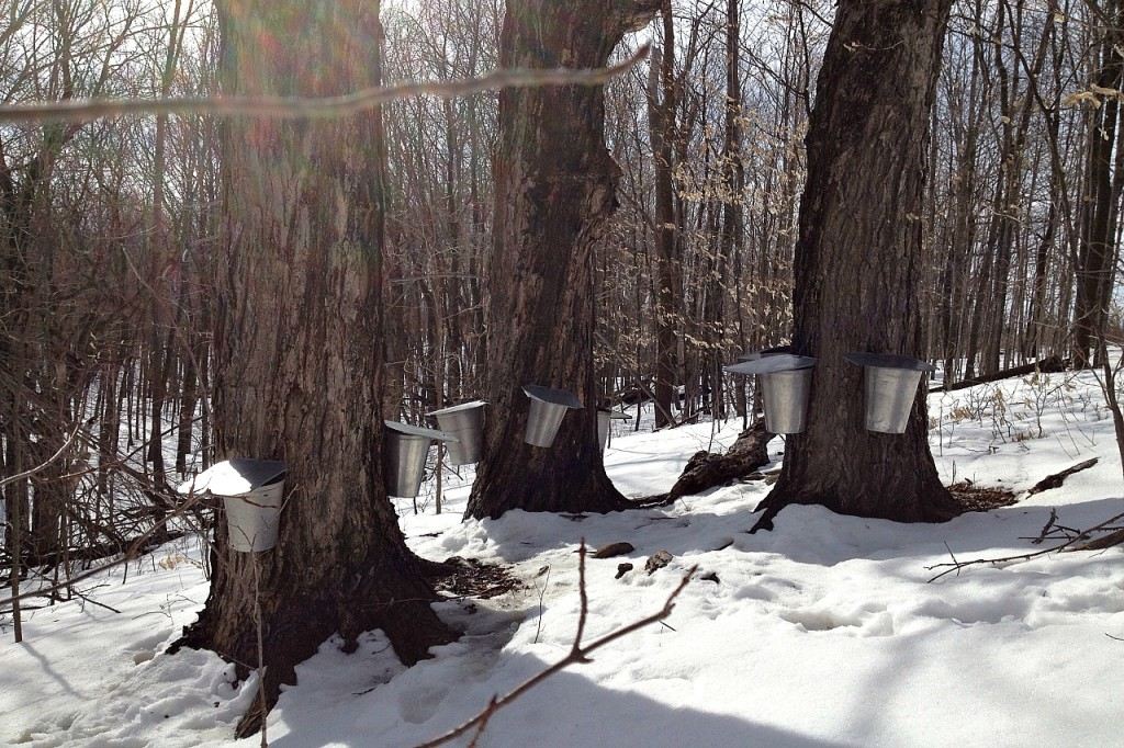 Tapped Trees in March | We Are Wildness