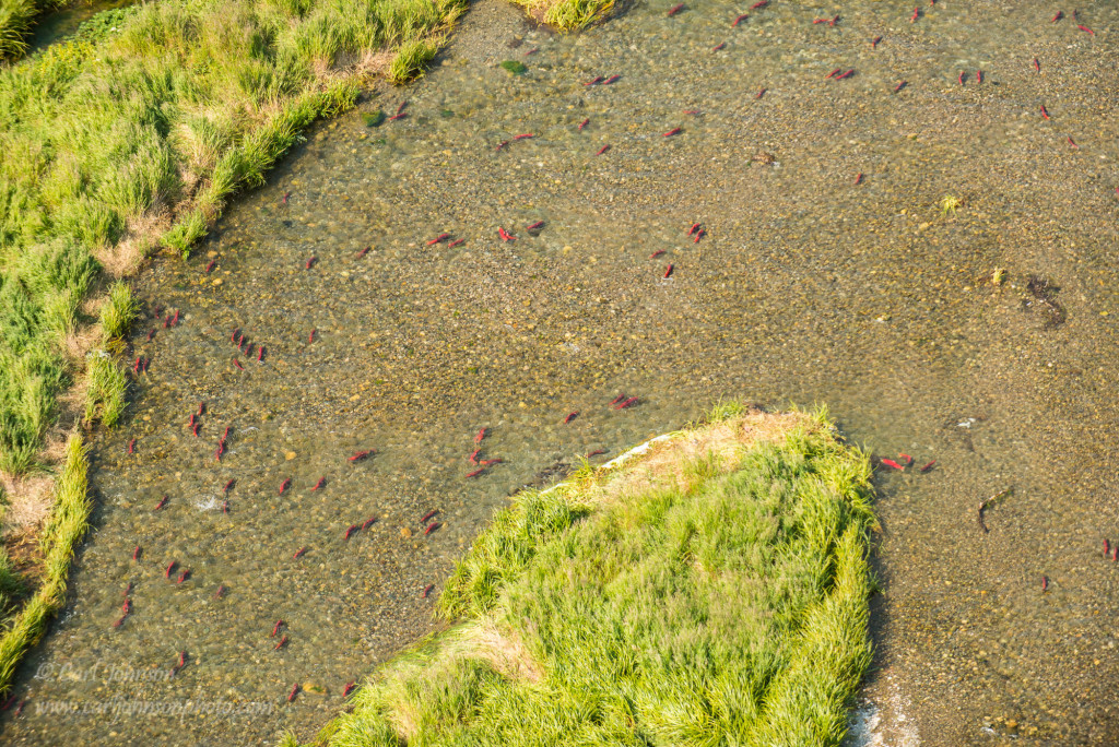 Wild Salmon Blog We Are Wildness Carl Johnson Rewild 1
