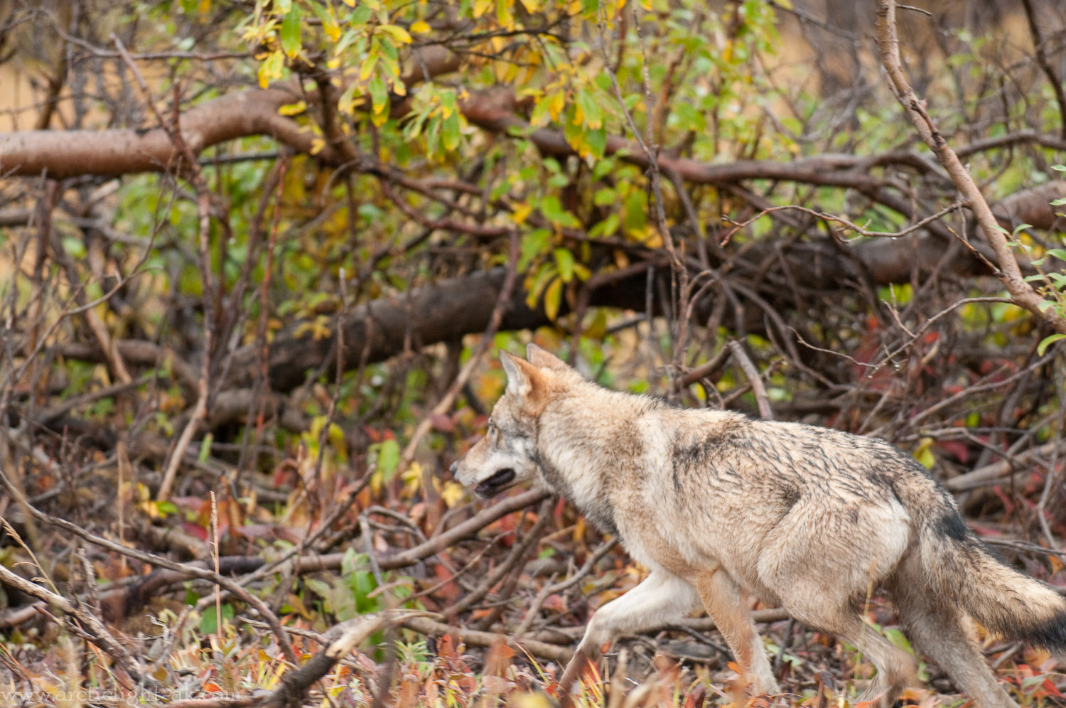 Wolf: Grant Creek Pack