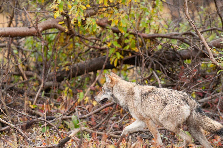 Wolf: Grant Creek Pack