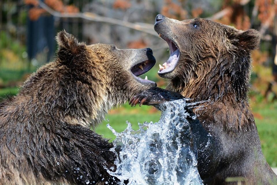 how to behave around wild animals - we are wildness - bears fighting - rewild