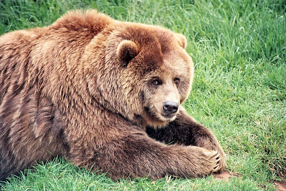 how to behave around wild animals - we are wildness - grizzly bear - rewild
