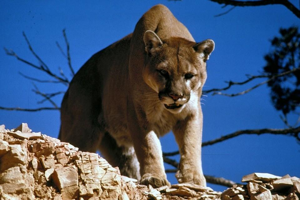 how to behave around wild animals - we are wildness - mountain lion - cougar - rewild
