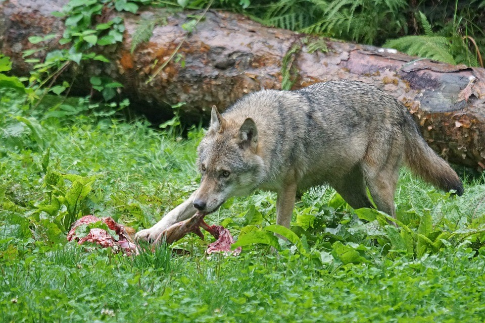 how to behave around wild animals - we are wildness - wolf - rewild