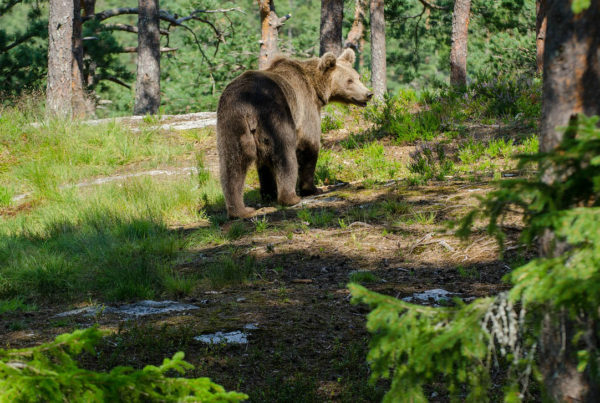 how-to-behave-around-wild-animals-blog-we-are-wildness-wearewildness-bear-rewilding