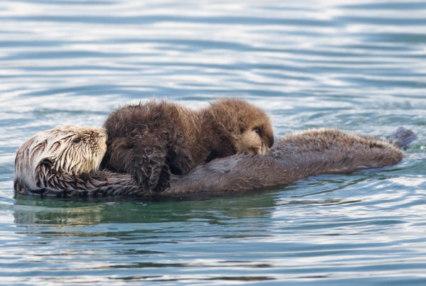 Photos Of Animal Parents And Their Offspring (They Will Melt Your Heart) - we are wildness - wearewildness - rewild your life - sea otters cute