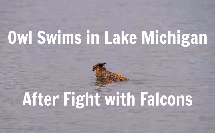 Owl Swims in Lake Michigan After Fight with Falcons
