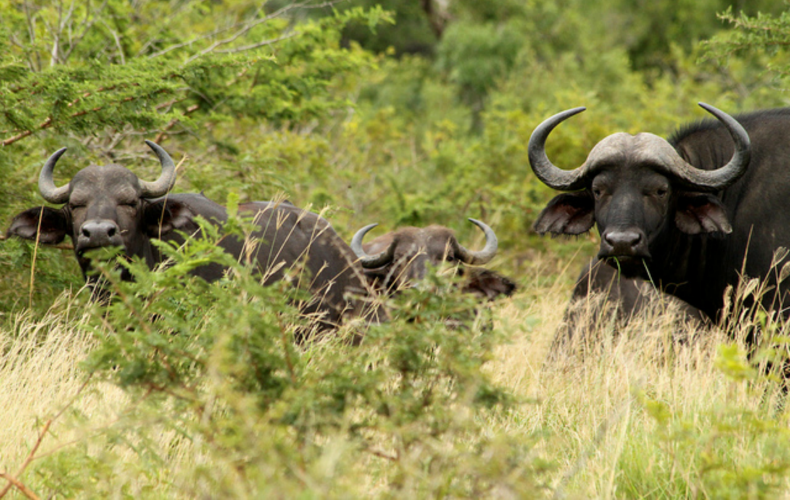 Walking with the buffalo| We Are Wildness Featured