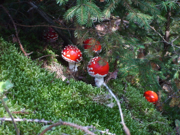 we are wildness fly agaric mushroom foraging wildfoodlove