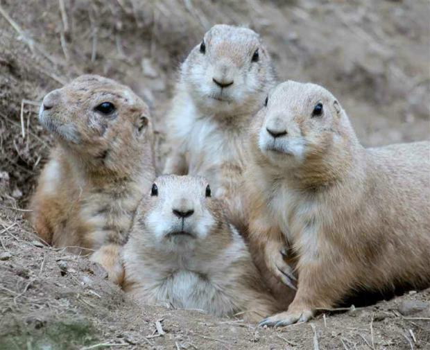 prairie-dog-family-portrait-2