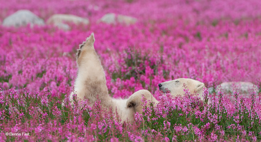 Polar Bears Playing In Flower Fields Captured by Canadian Photographer