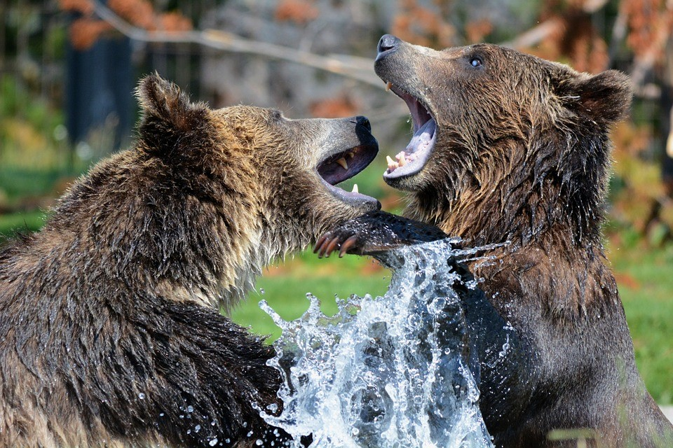 how to behave around wild animals - we are wildness - bears fighting - rewild