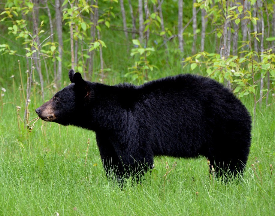 how to behave around wild animals - we are wildness - black bear - rewild