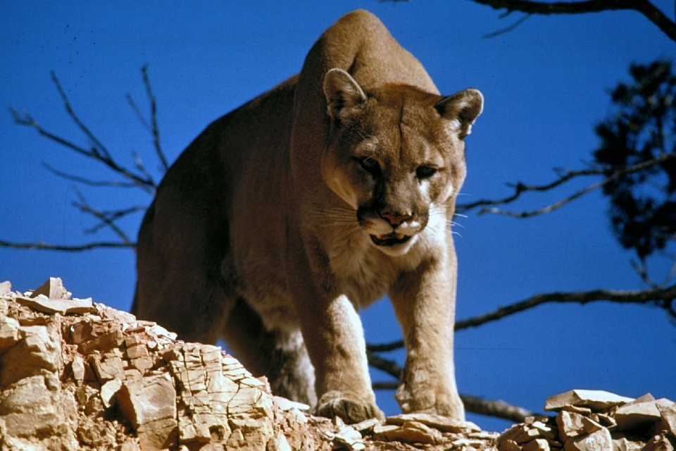 how to behave around wild animals - we are wildness - mountain lion - cougar - rewild